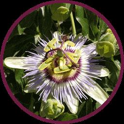 Blume zum Allerlei